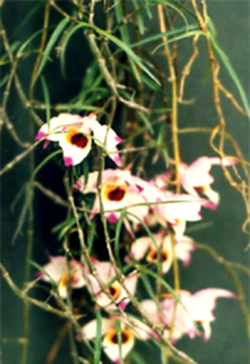 Dendrobium Falconeri Hook