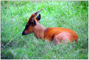 Barking Deer-A.jpg