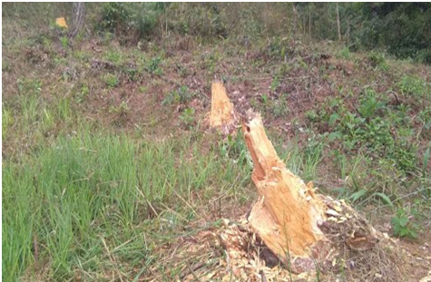 Deforestation in Tamenglong Gadai forest continues despite prohibition