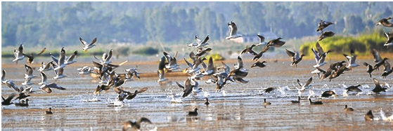 Migratory birds dwindle at Loktak