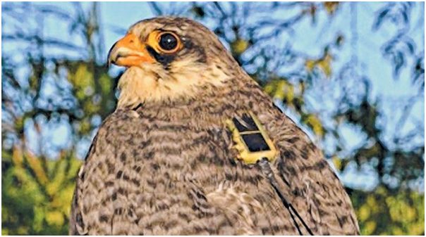 Tagged Amur Falcon Longleng may cross NE